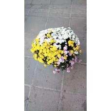 Хризантема зимна - голяма